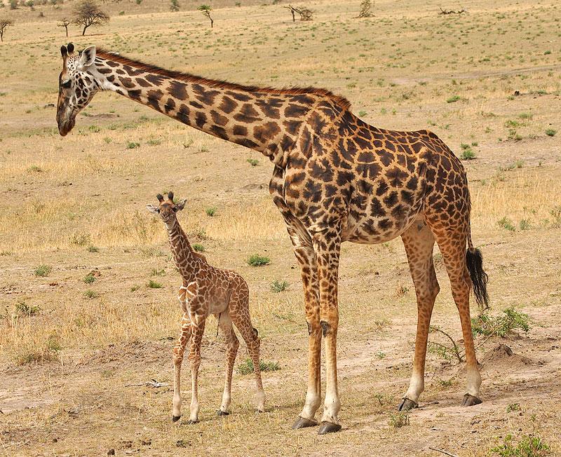 Maasai-Giraffe-with-baby-giraffe