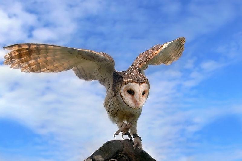 australian masked owl landing
