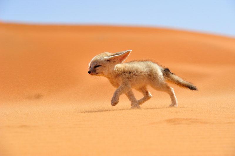 FÈnec-The-soul-of-the-desert