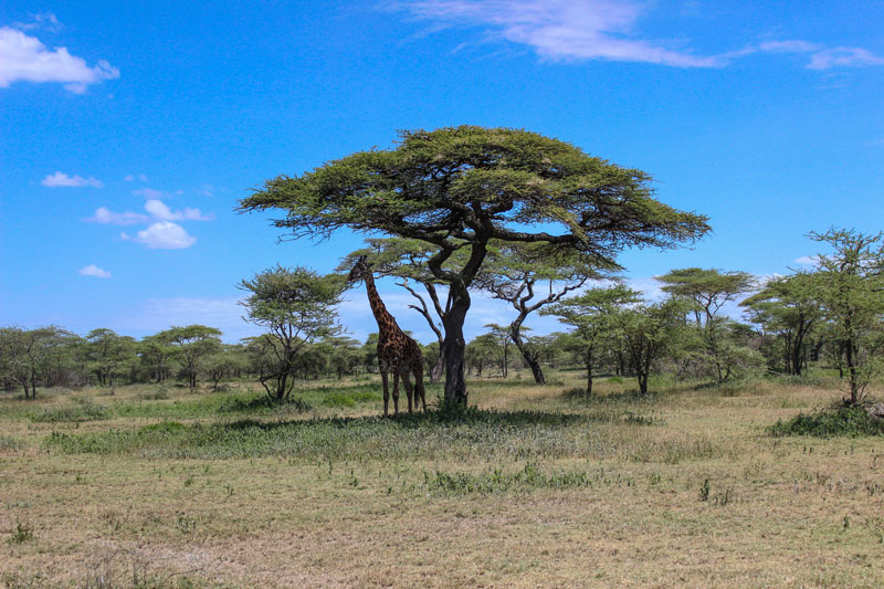 giraffe getting shade under acacia tree serengeti national park by twistedsifter Picture of the Day: Giraffe Umbrella
