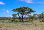 Picture of the Day: Giraffe Umbrella