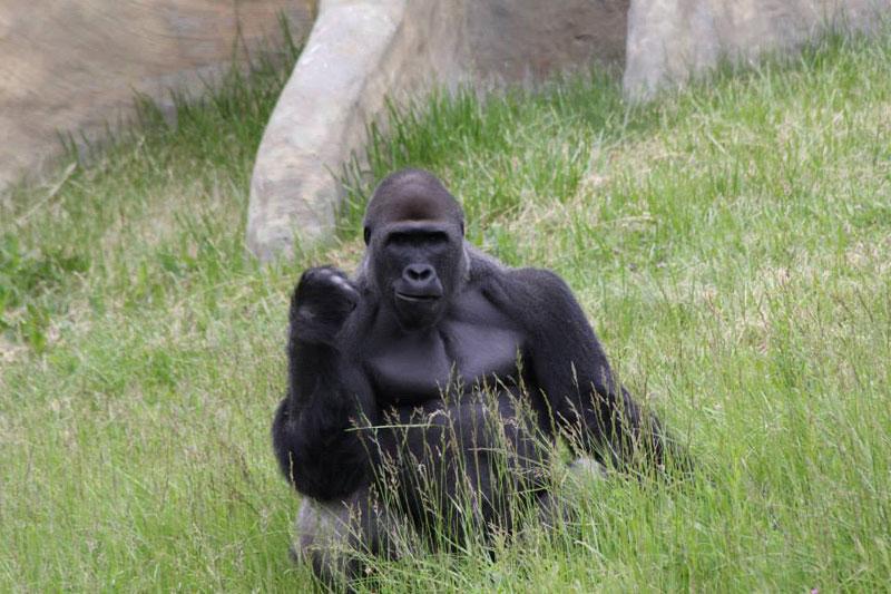 success gorilla The Shirk Report   Volume 218
