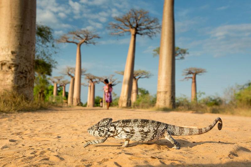 Walking-Chameleon