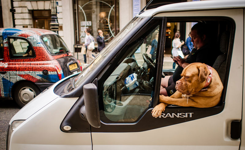 canine hanging out passenger window sitting like human Picture of the Day: Lets Ride Dog