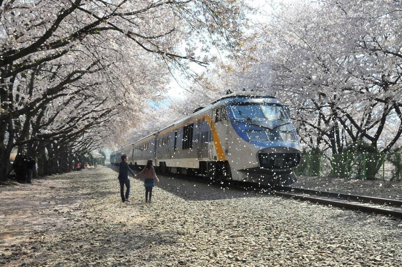 Jinhae Gunhangje cherry blossom festival south korea