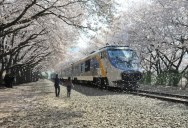 Picture of the Day: The Cherry Blossom Express