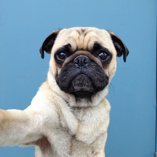 This is Norm, the Most Adorable Pug on Instagram