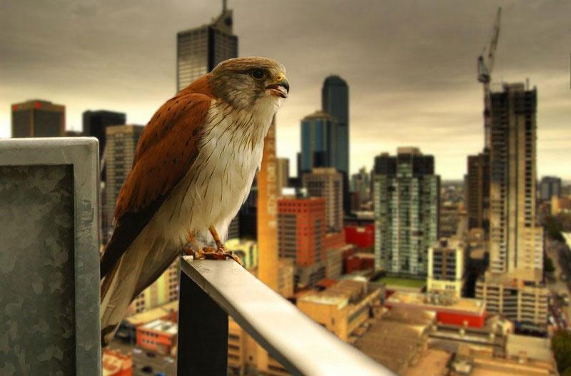 urban hawk raptor Picture of the Day: Urban Raptor