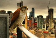 Picture of the Day: Urban Raptor