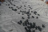 Volunteers Form Human Wall to Guide Baby Turtles to Sea