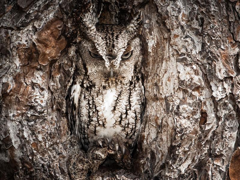Portrait-of-an-Eastern-Screech-Owl
