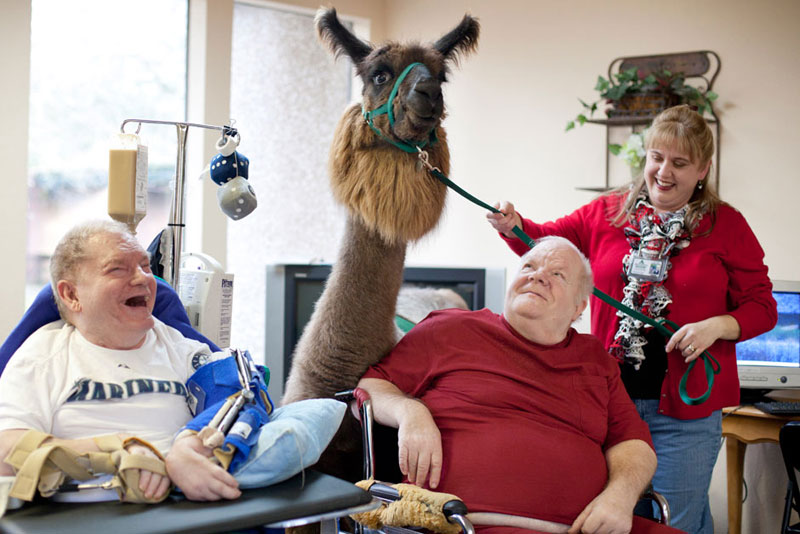 therapy llamas bring smiles to sick and elderly jen osborne colors magazine 4 This Old Soul Acclimates Kittens to Dogs to Increase Their Chances of Adoption