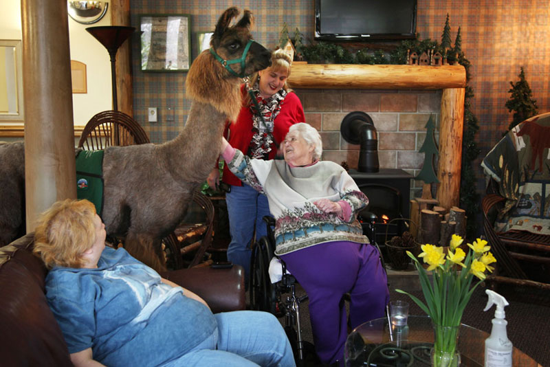 therapy llamas bring smiles to sick and elderly jen osborne colors magazine (5)
