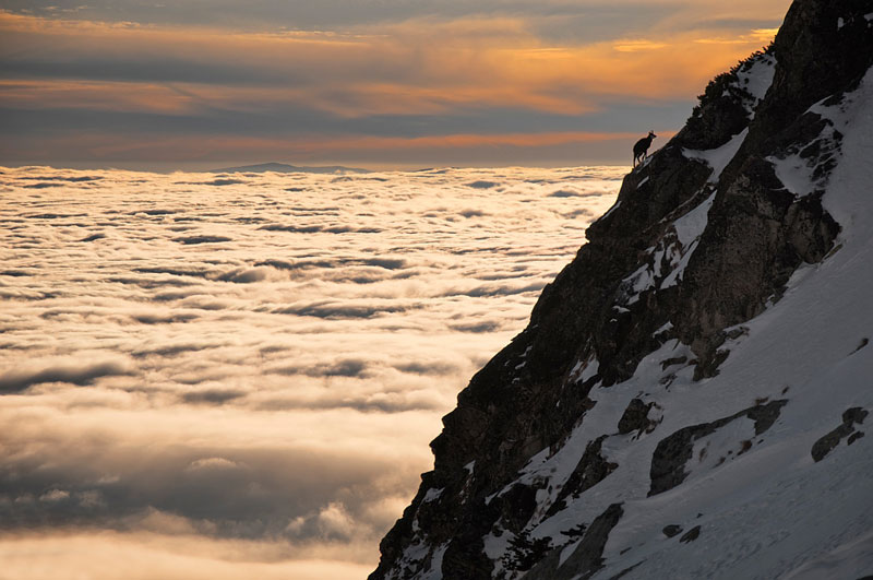 Picture of the Day: Lone Chamois Above the Clouds