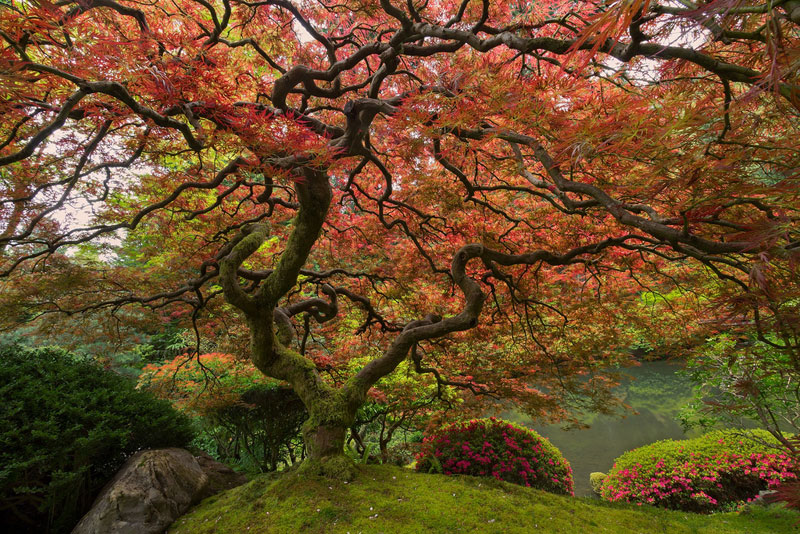 Picture Of The Day Portland S Famous Japanese Maple Twistedsifter