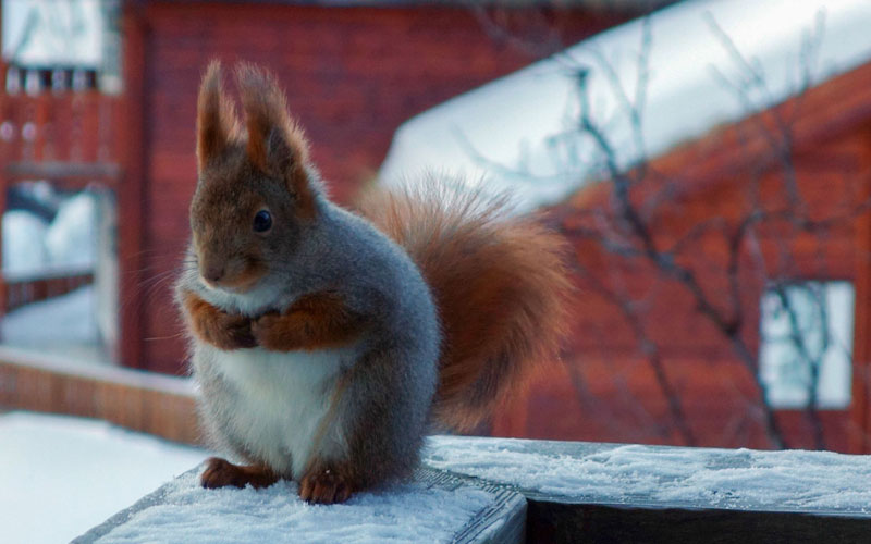 fat squirrel The Shirk Report   Volume 235