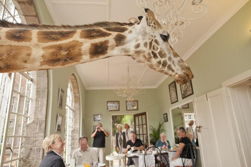 giraffe manor hotel nairobi kenya africa safari (4)