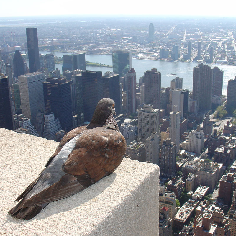 pigeon overlooking new york city Picture of the Day: The City is Mine