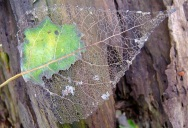 Picture of the Day: The Skeleton Leaf