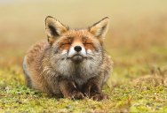 Picture of the Day: One Happy Fox