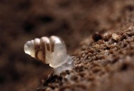 Picture of the Day: Snail with Semi-Transparent Shell Discovered
