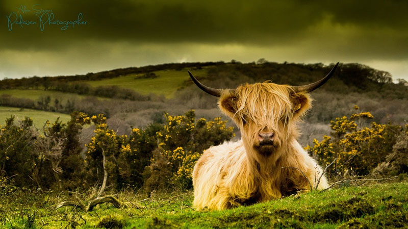 Picture of the Day: This Cow is so Emo