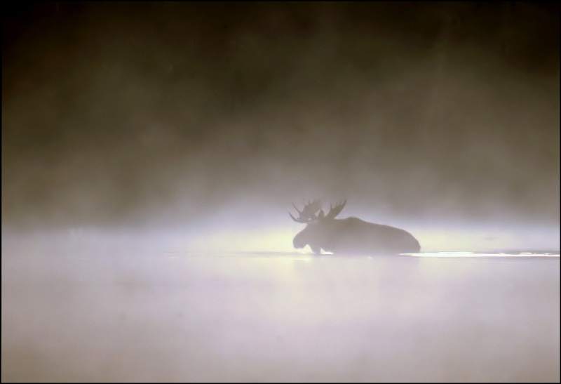 Picture of the Day: Moose in the Mist