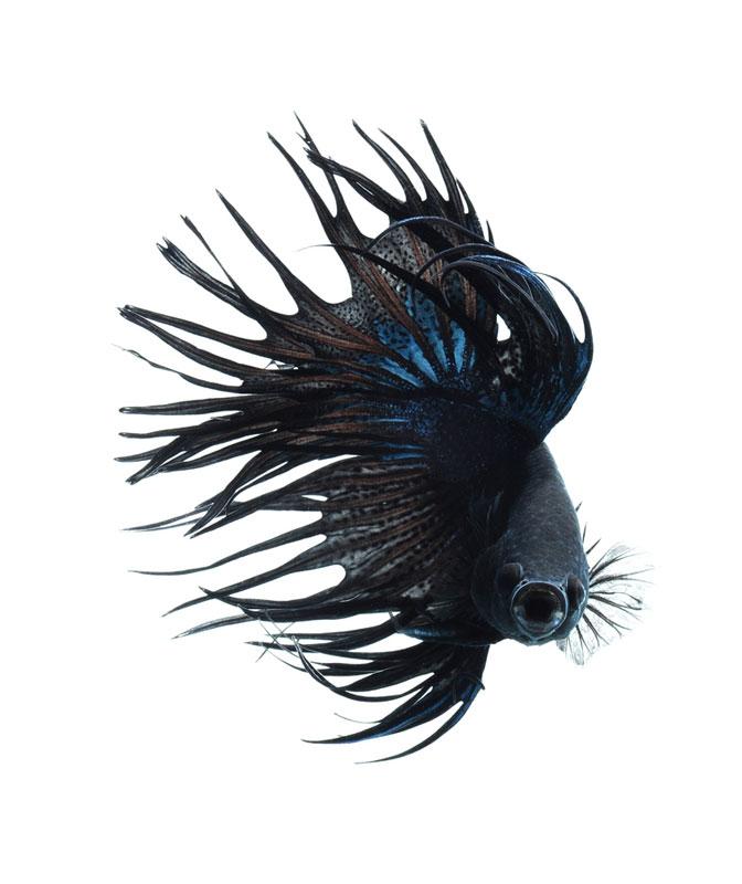 siamese fighitng fish bettas portraits by Visarute Angkatavanich (1)