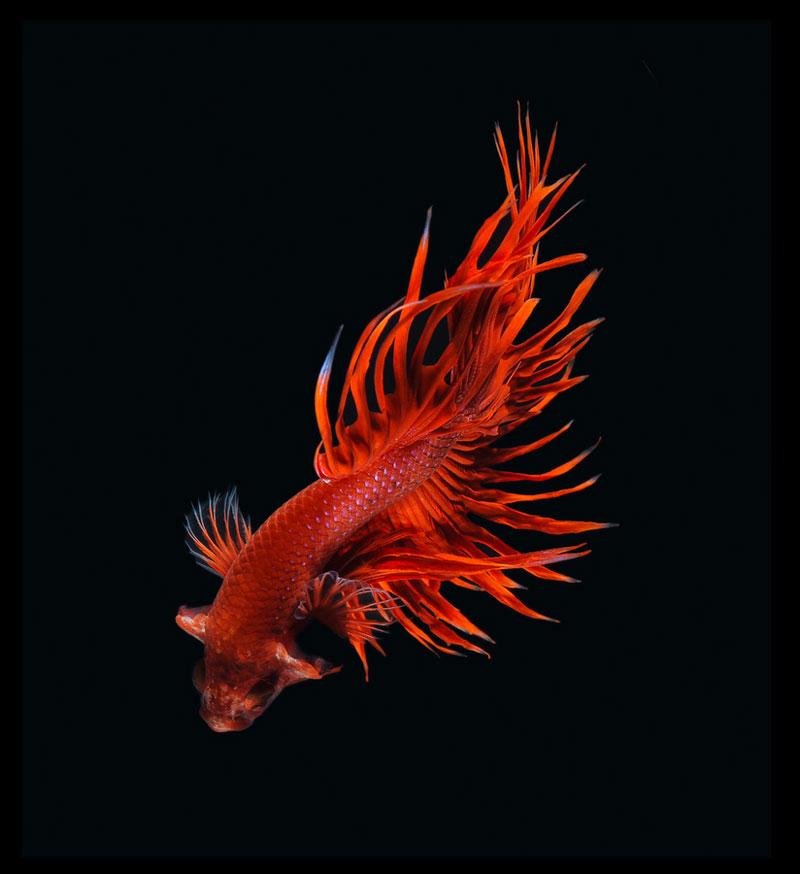siamese fighitng fish bettas portraits by Visarute Angkatavanich (2)