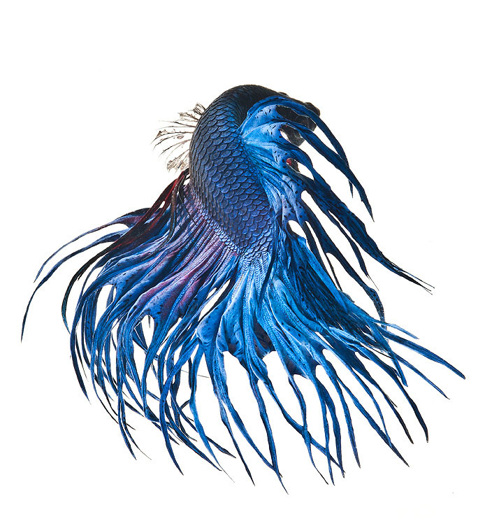 siamese fighitng fish bettas portraits by Visarute Angkatavanich (4)