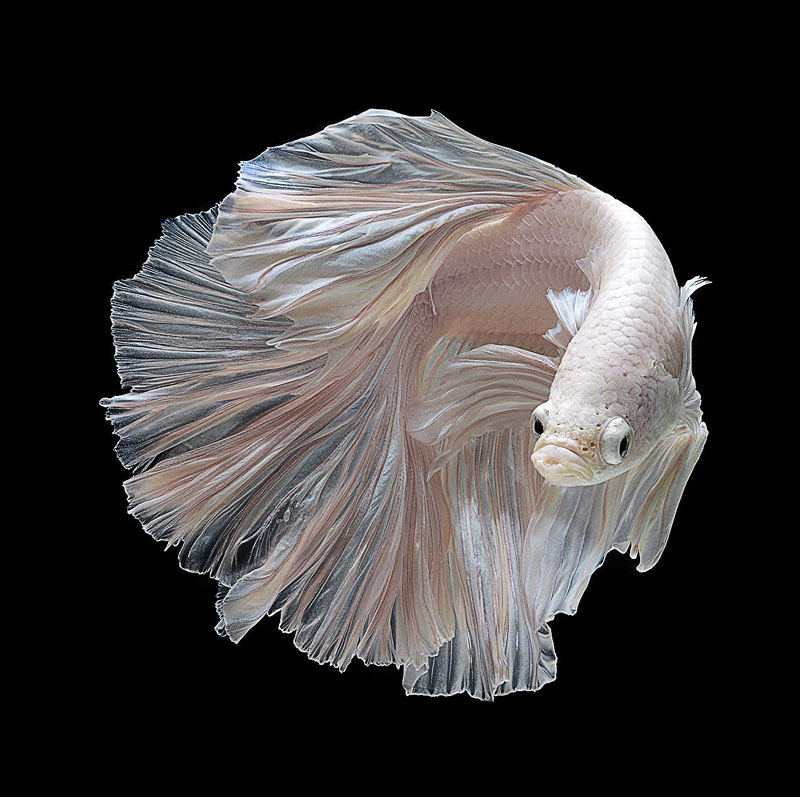 siamese fighitng fish bettas portraits by visarute angkatavanich 8 The Curious World of Chicken Beauty Pageants
