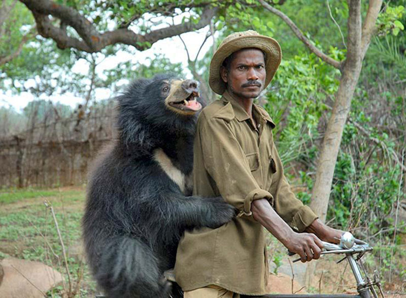 sloth bear with ranger on a motorcycle india The Shirk Report   Volume 242