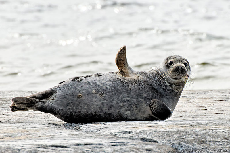 grey seal waving goodbye hello Picture of the Day: Goodbye 2013, Hello 2014!