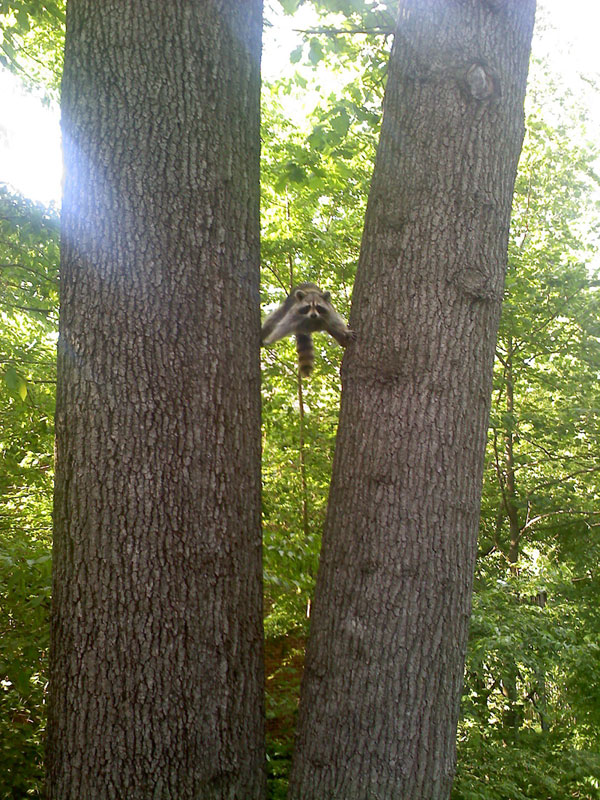 racoon epic slipts between two tree trunks The Shirk Report   Volume 244