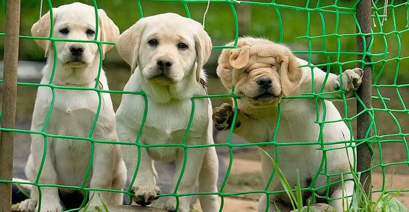 three dogs and a fence The Shirk Report   Volume 246