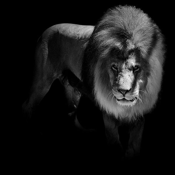 black and white fine art animal portraits by lukas holas (10)