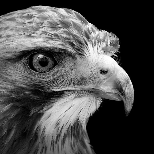 black-and-white-fine-art-animal-portraits-by-lukas-holas-(11)