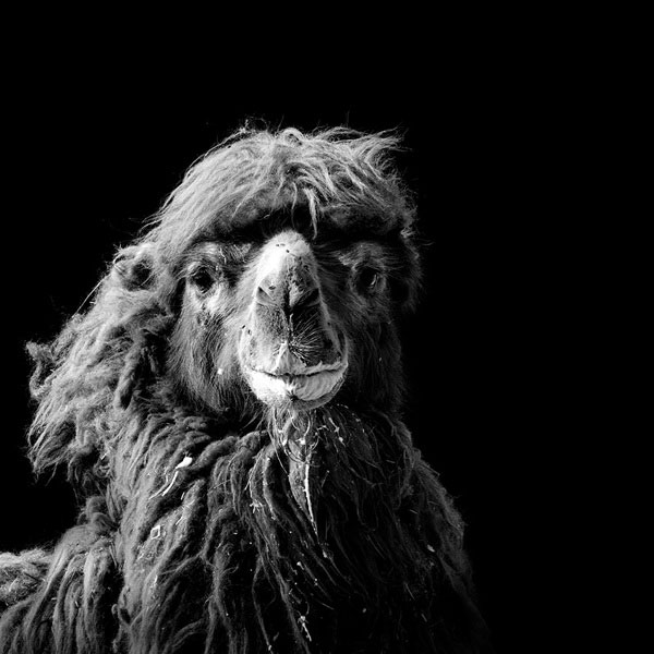 black and white fine art animal portraits by lukas holas (6)