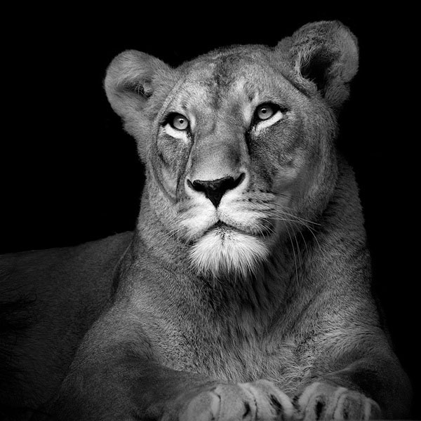 black and white fine art animal portraits by lukas holas (8)