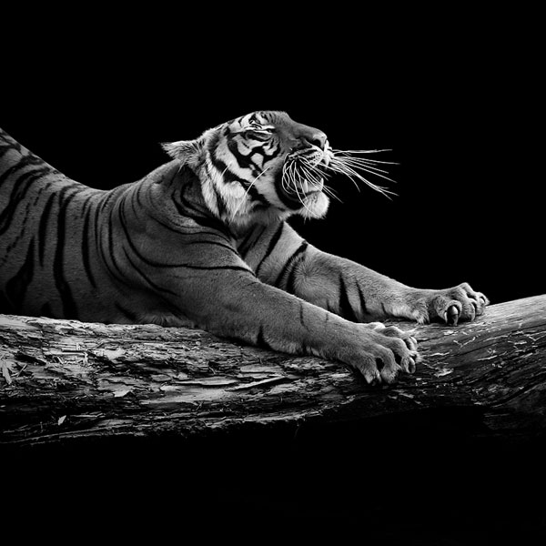 black and white fine art animal portraits by lukas holas (9)