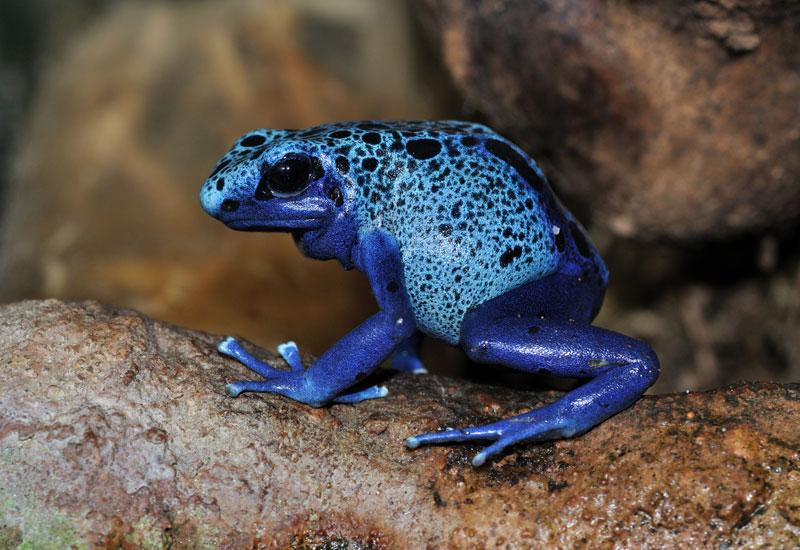 Blue poison dart frog Dendrobates_azureus