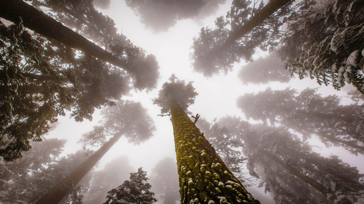 sequoia national park looking up Picture of the Day: Looking Up to Giant Sequoias