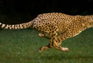 This Cheetah is Running 100 km/h… in Super Slow Motion