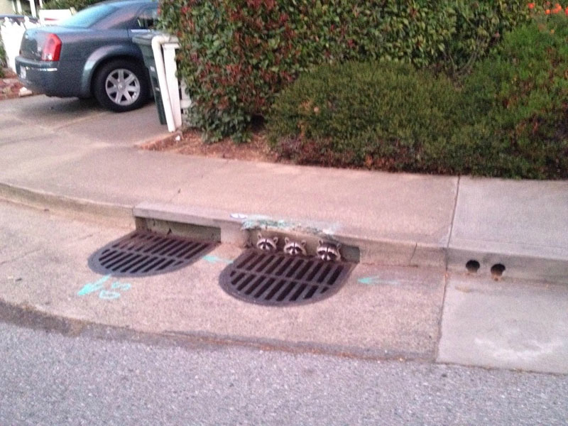 three raccoons popping heads out of sewer The Shirk Report   Volume 250
