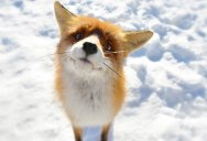 Picture of the Day: A Fox Says What?