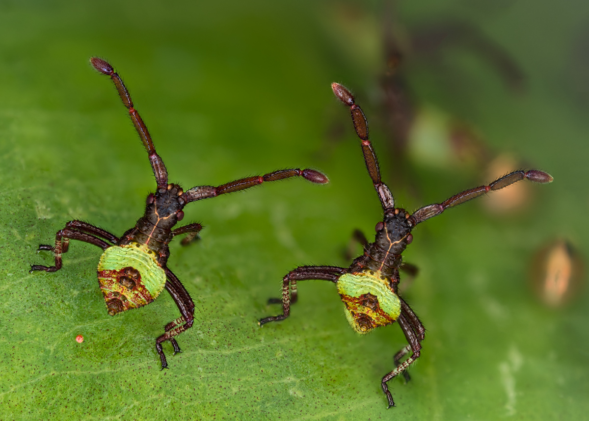2013--6-Wirz--Brother-bugs-Gonocerus_acuteangulatus-large-file