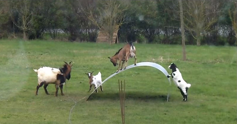 If These Goats on a Steel Ribbon Don't Cheer You Up, Nothing Will