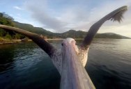 These Guys Strapped a GoPro to a Pelican that Forgot How to Fly. This is His First Flight