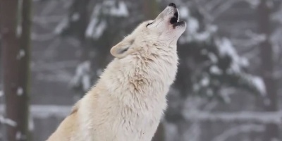 How Wolves Changed an Entire Ecosystem