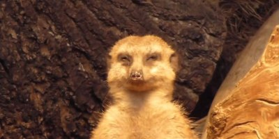 This Meerkat Trying Not to Fall Asleep is the Best Thing You Will See Today